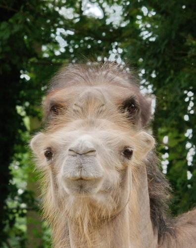 Doppelkopf Kamele